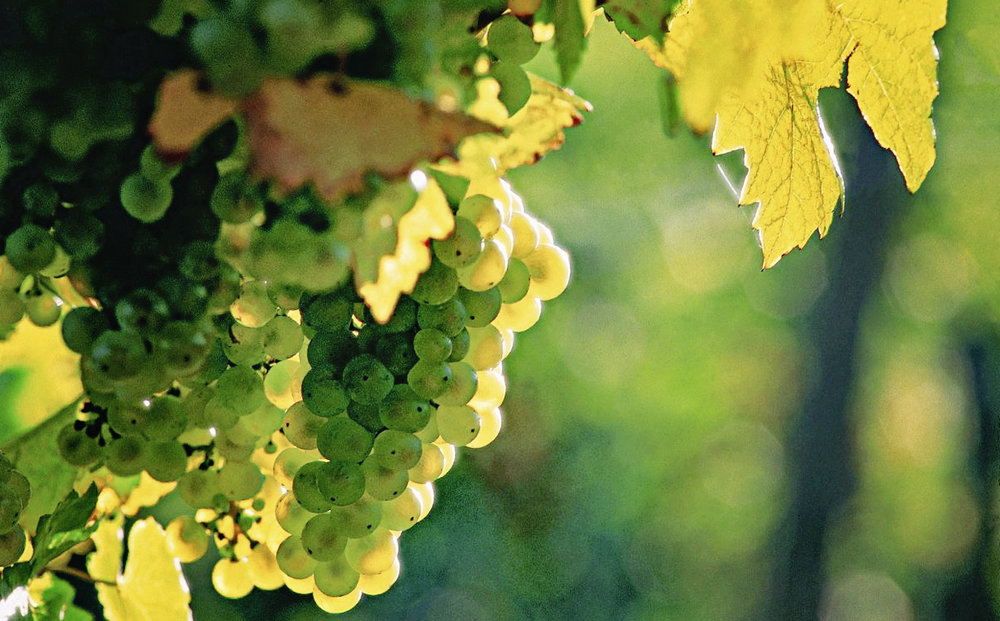 Beautiful grapes ready for fall harvesting!