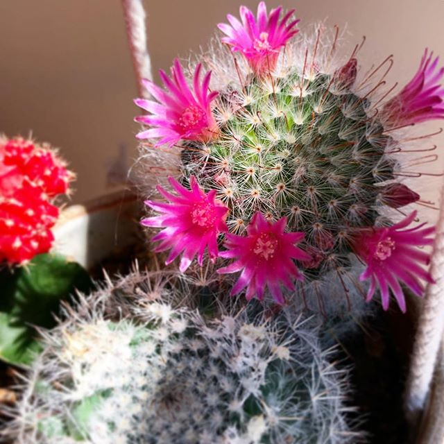 It's really the little things that bring the most joy. #cactus #blooming