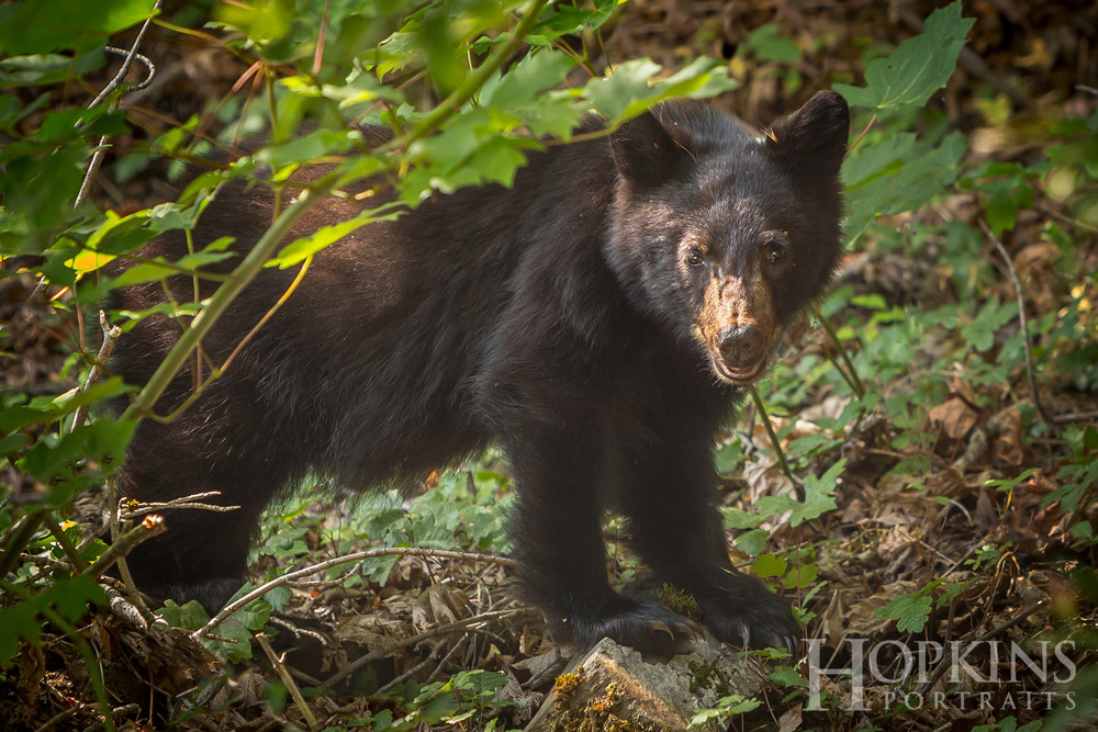 bear_cub_wildlife_photography.jpg