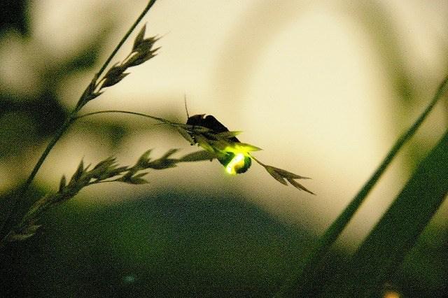 Japanese firefly. (hotaru)