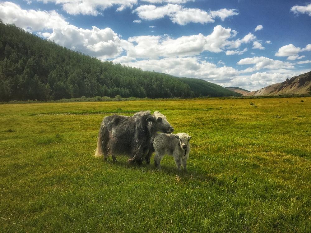 JennieRoss_mongolia_yaks.jpg