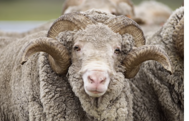 Merino Wool Sheep.png