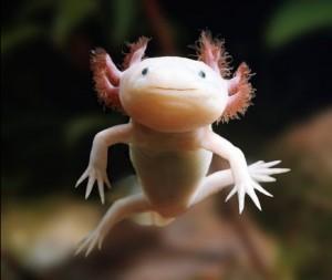 mehhiko tömpsuu ehk axolotl.jpg