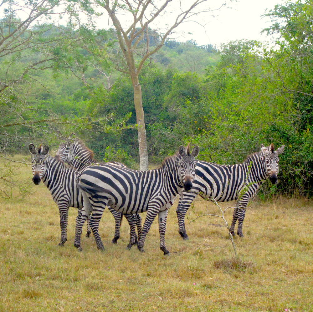 Cycle with zebras at Mburo National Park