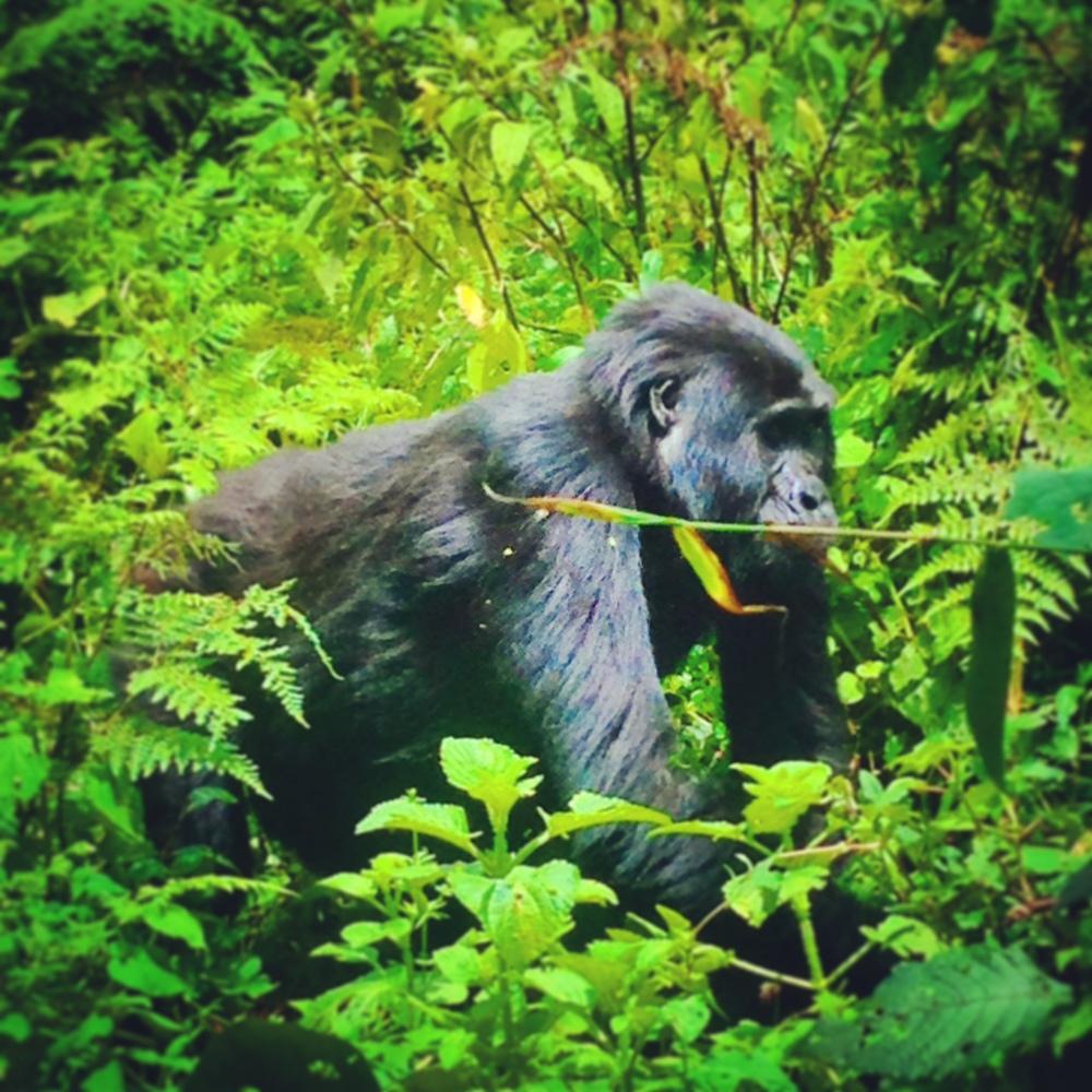 Mountain Gorillas in Bwindi National Park