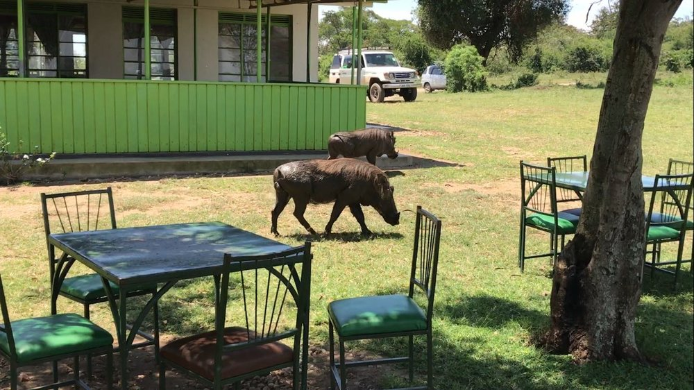 Warthogs Joining us for Lunch
