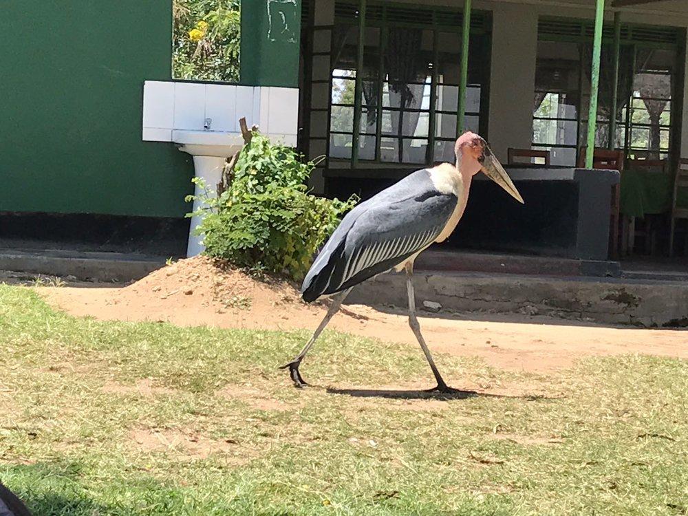 A Marabou Stork