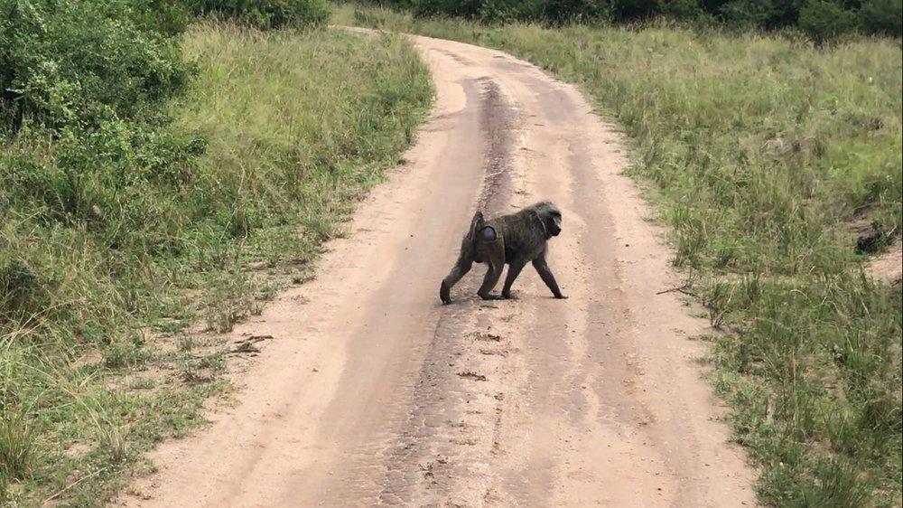 A Baboon