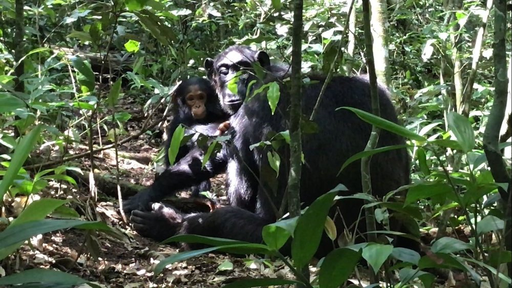 ...go trekking with chimpanzees in Kibale Forest - the best place to see primates in all of Africa. OR...