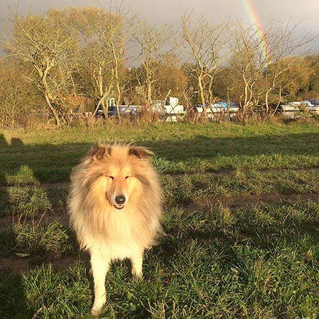 Obie posing in front of a rainbow a few days back. #whistledogwalking #yorkdogwalker #roughcollie #obietheroughcollie