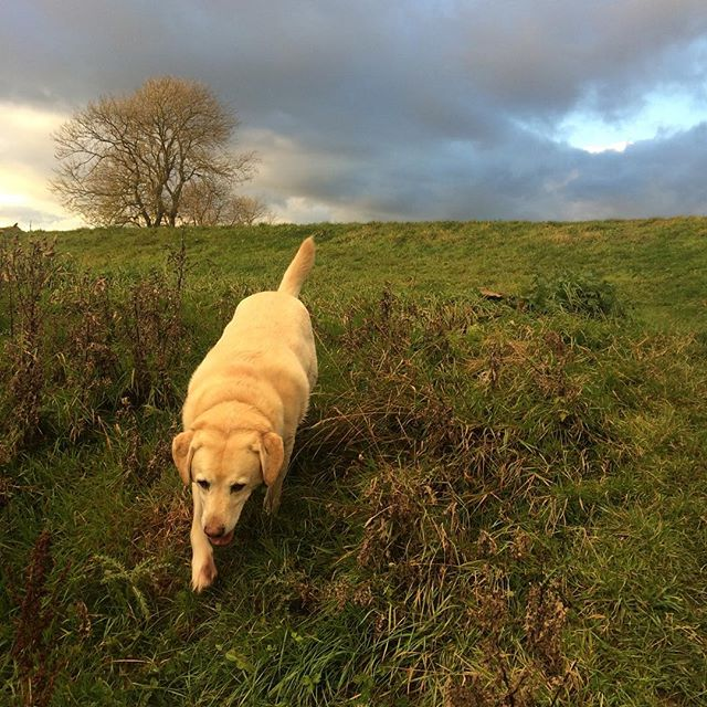 Fido the Labrador! What a pooch! #labrador #whistledogwalking #yorkdogwalker