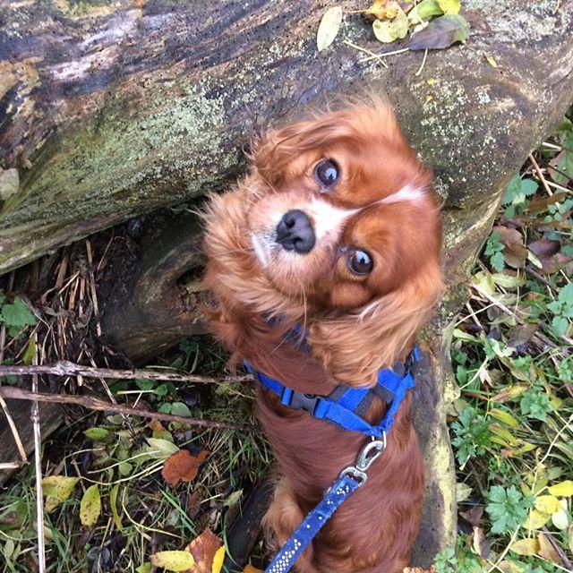 Benji the ckc spaniel. #whistledogwalking #yorkdogwalker #cavalierkingcharlesspaniel