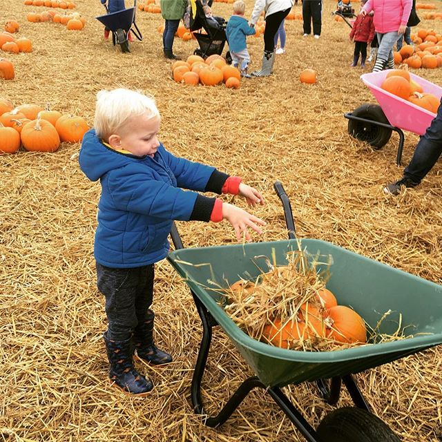 Classic October half term activity! We added a bit of straw-tidying to the traditional pumpkin picking task this year. All set for Halloween 🎃 #maternityleavelife #halloween #halfterm #familyfriendly #kent #toddlersofinstagram