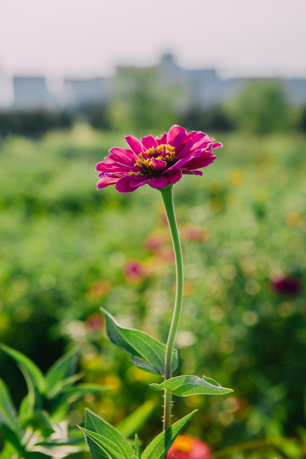 Zinnia with a view of Downtown Little Rock.