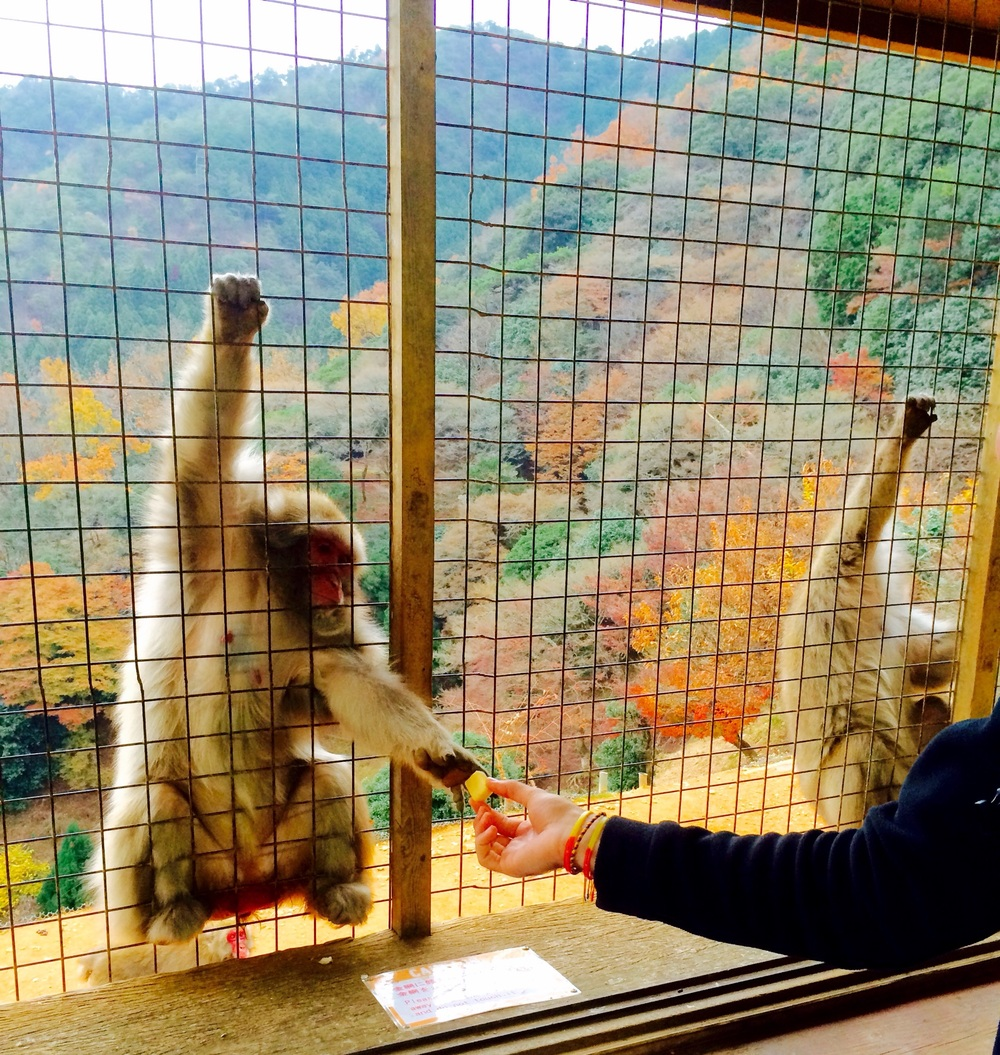 Feeding a snow monkey in Kyoto's Arashiyama Monkey Park