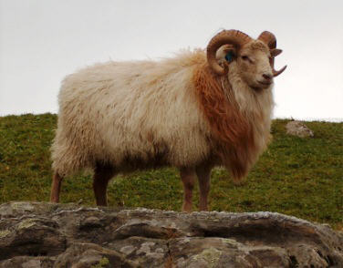 The Old Norwegian Sheep