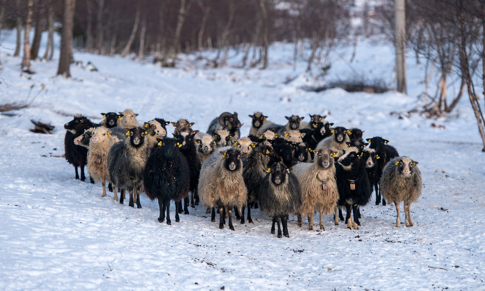 Flock of Old Norwegian Sheep