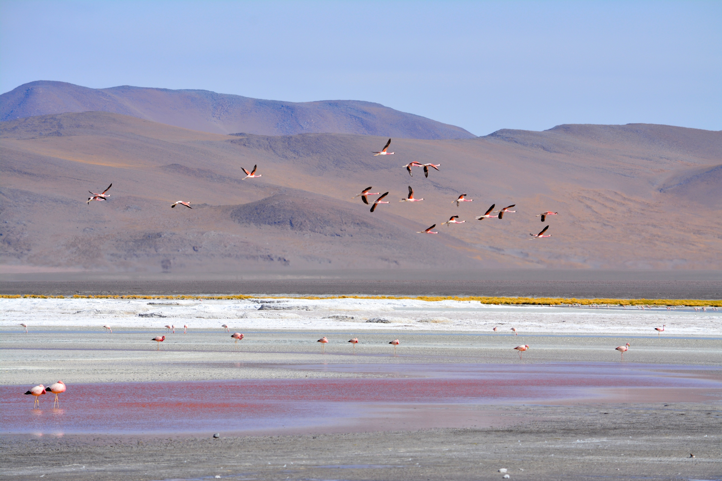 Flamingos in flight over Laguna Colorada