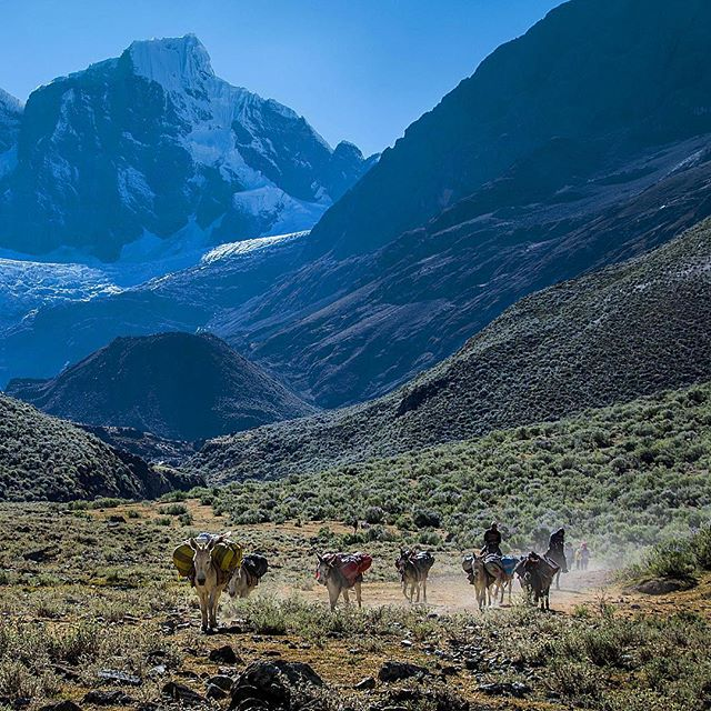 Arrieros and their train of pack animals, laden with the tents and food of circuit hikers, move down valley through the Cordillera Huayhuash of Peru. In the background are the high peaks of the Huayhuash, and in the foreground you'll find my buddy Samuel and some of the best mulas in the world.