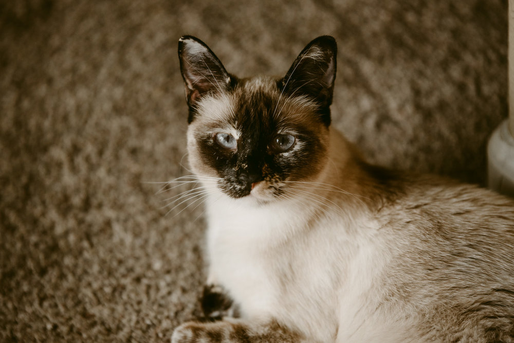 Portrait of a siamese cat laying down and looking at the camera