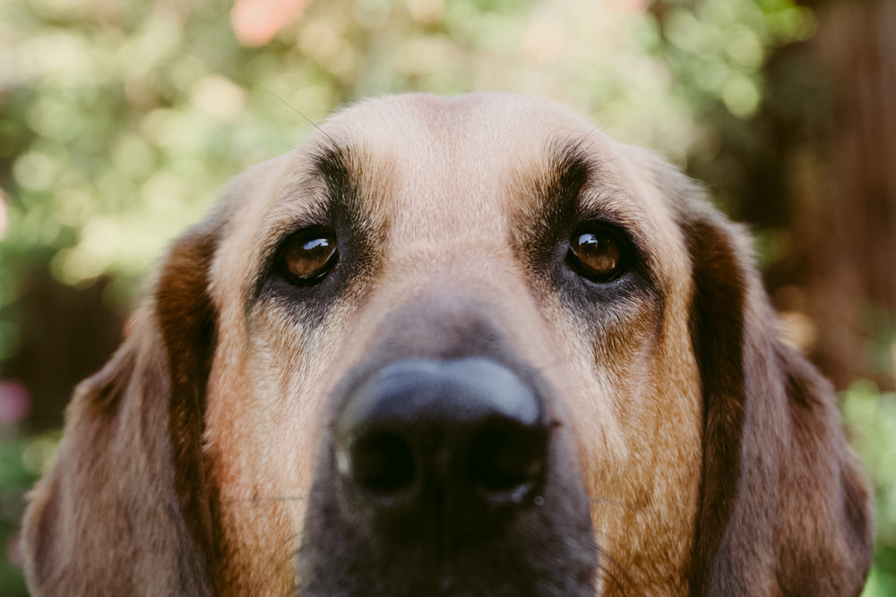 Face of a sweet brown dog with droopy ears and eyes filling the frame almost touching the lens with its nose