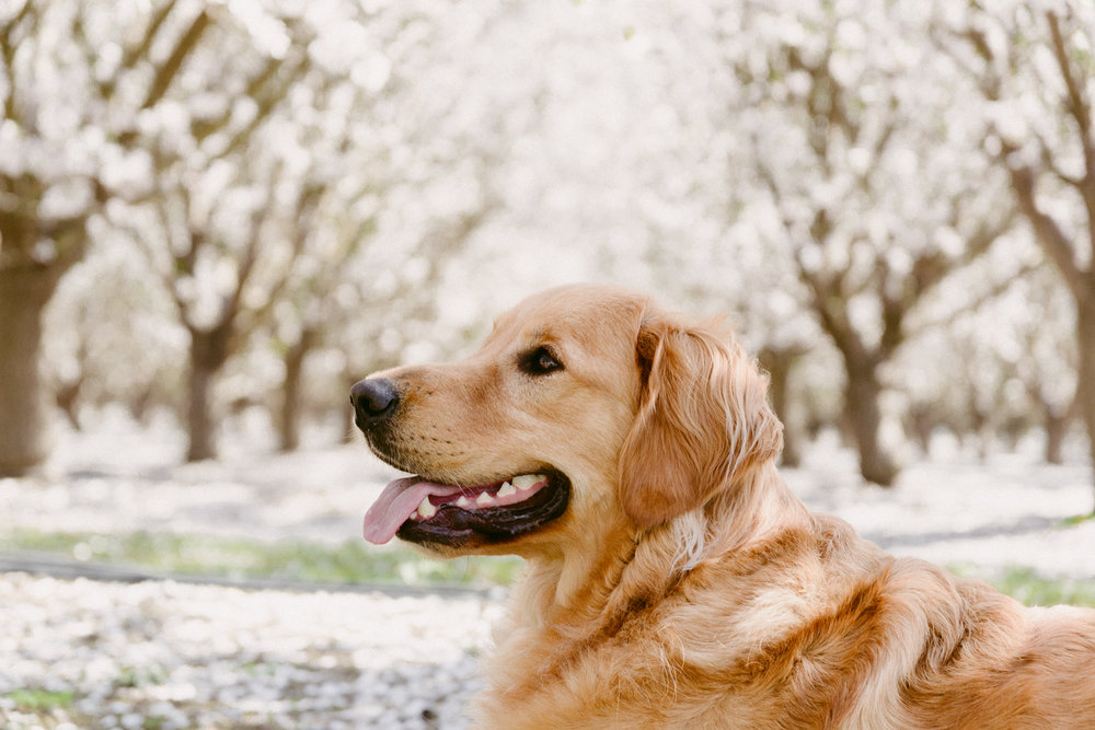 Golden Retriever centered in an alley of blooming almond orchards