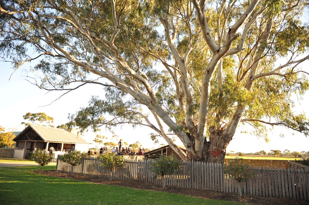 The old gum trees at Penny's Hill
