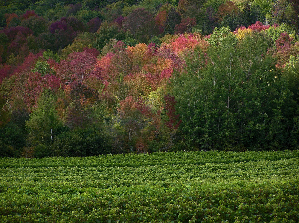 The vines at Gaspereau Vineyard in Autumn. Photographer. Colin Leonard