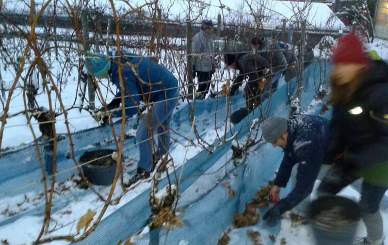 Choosing grapes in this weather can be difficult