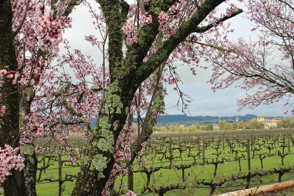 Cline Cellars in Sonoma; plum blossoms overlooking the vines