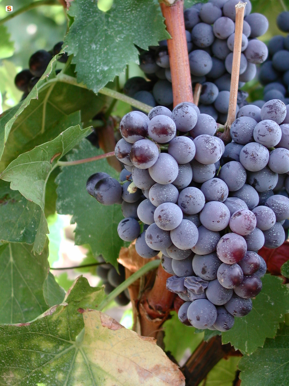 Cannonau Grapes | Photo Credit: Regione Sardegna