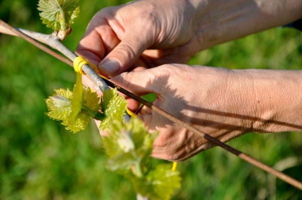 Pruning, Solopaca, Italy
