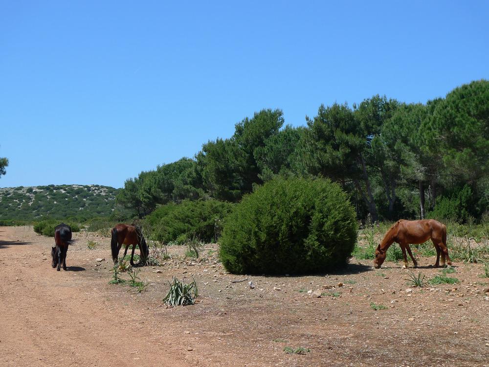 Alghero - wild horses at Porto Conte Natural Reserve - ©ezioman