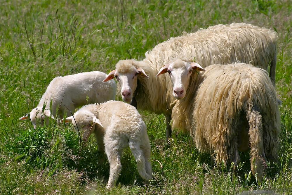 Sardinian sheep  © Roberta Manis