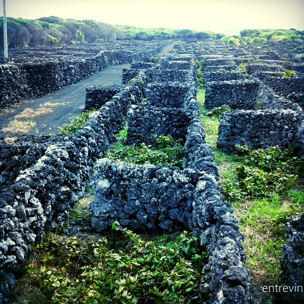 The vineyards of the Azores archipelago, especially in Pico island, are very special. They are planted in small walls of basalt stone that protect them from the wind and the salty sea breeze.