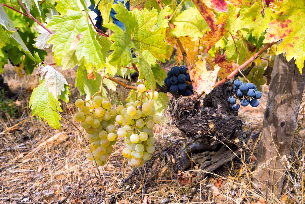 A rare phenomenon - A vine with white and red grapes | Photo Credit: Benoît Lefèvre - Vino2Travel