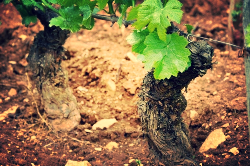 """To know the terroir you must taste the soil"" - Romanée-Conti, France"