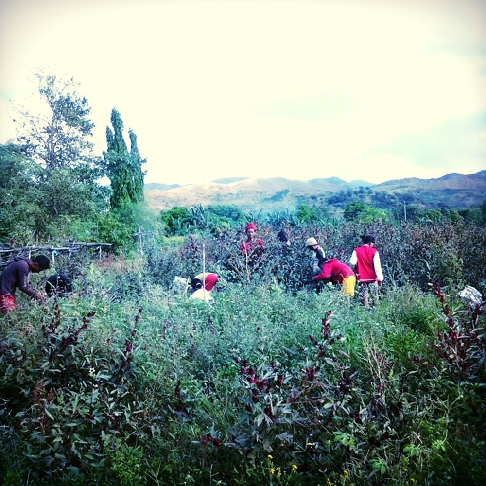 An Aeta community in Zambales harvesting roselle - a native weed or flower now used to produce red wine and tea in the Philippines.
