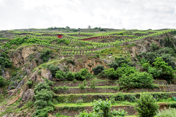 One of ARPEPE's vineyards