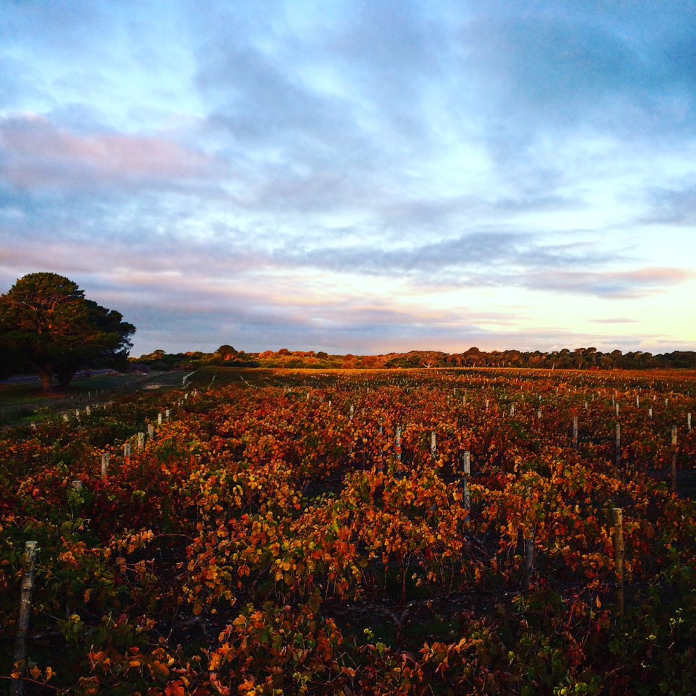 Post harvest view of 12 Mile Vineyard Shiraz, late autumn, 2016 harvest. Robe, South Australia.
