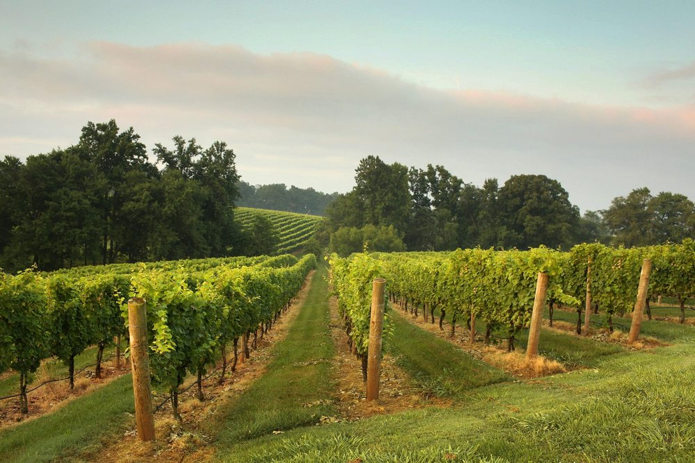 Shelton Vineyard | Photo Credit: Travis Dove