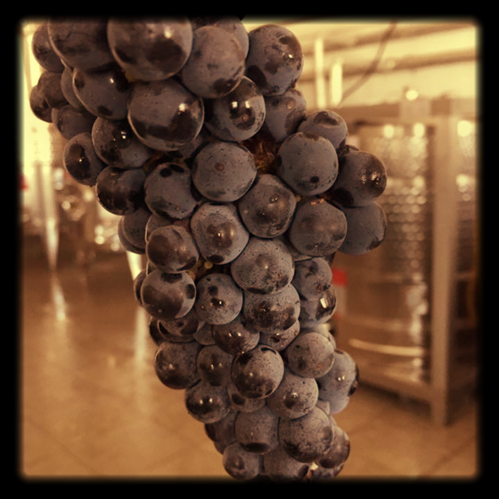 2016 grape harvest