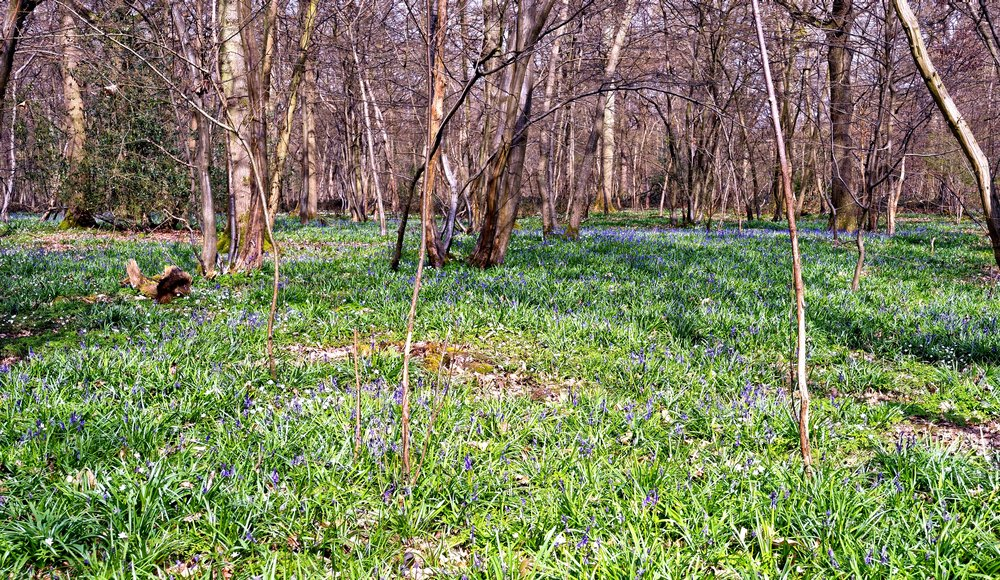 Spring Flowers in the Wood - Hush Heath Estate