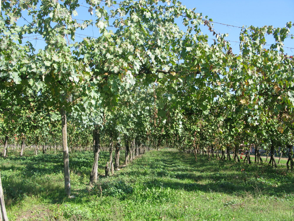 Old Lambrusco Vines - Traditional Pergola Training System