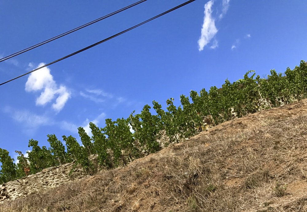 It's not the picture, although I do have the tendency to take angled photos,  the vines are planted on a slope.