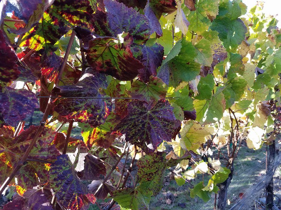 Grape leaves.jpg