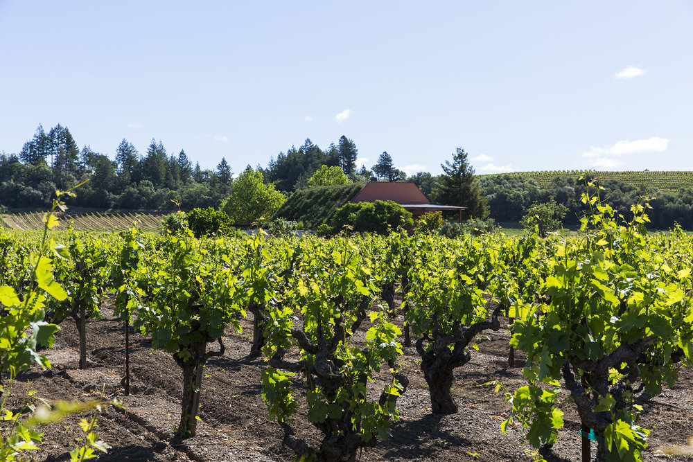 Parts of the 91-year-old Nalle vineyard (all photos courtesy of Nalle vineyard)