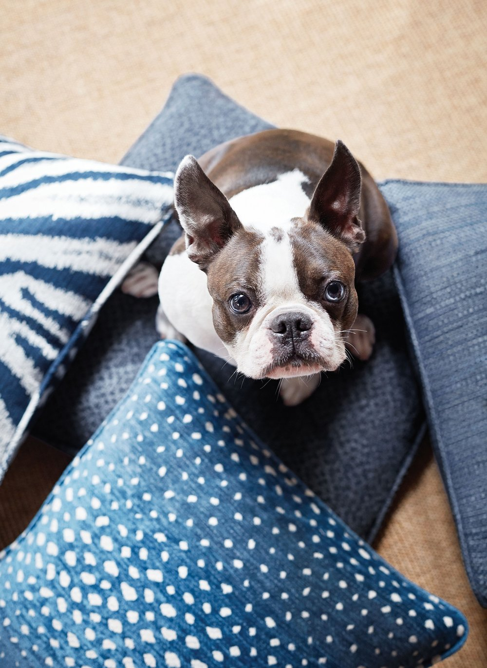 Selection of Crypton performance fabric takes the stress (and guilt in this dog's case) out of your fabric selection. Photo: courtesy of Thibaut Design.