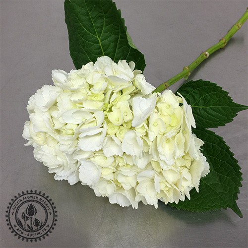 Hydrangea white and colors austin flower market hydrangea white and colors mightylinksfo