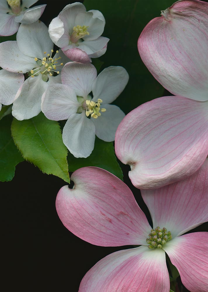 "Dogwood and Apple Blossoms, 2014. 13""x19"", archival pigment print. At BlueSky Gallery, NW Drawers."